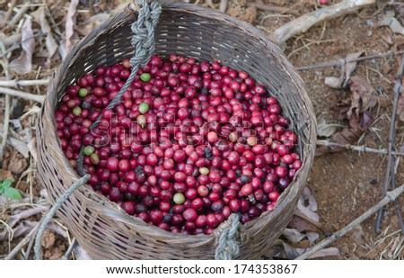 red berries coffee in basket - stock photo