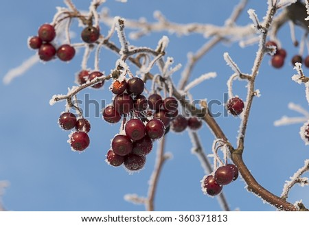 red berries covered with ice crystals - stock photo
