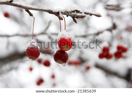 Red berries covered with snow hanging from tree branch. - stock photo