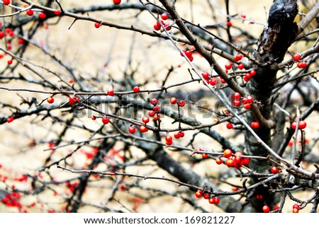 Red berries in winter time - stock photo