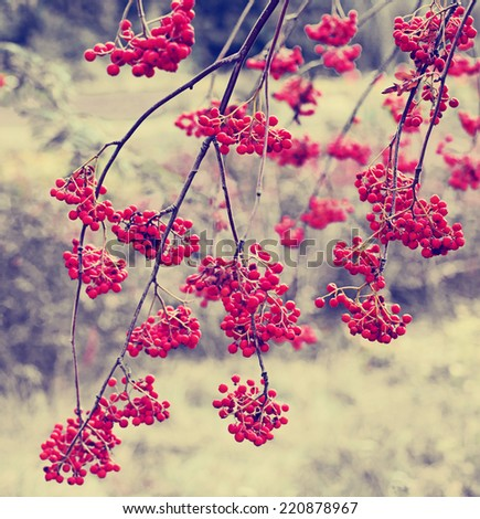 Red berries ion nature background in vintage style - stock photo
