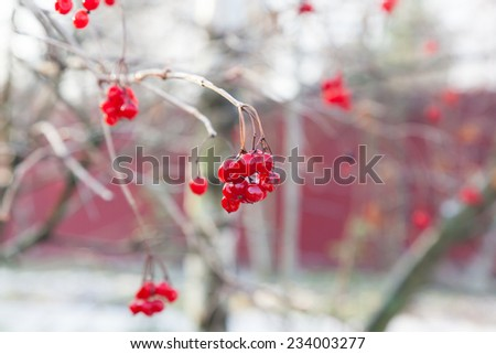 Red berries of Viburnum covered with ice after frozen rain in the winter - stock photo