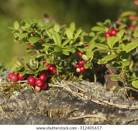 Red berries ripe cranberries in the forest, macro photography - stock photo