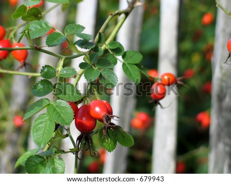 Red berries with green leaves - stock photo