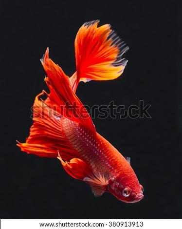 Red betta fish, siamese fighting fish on black background - stock photo