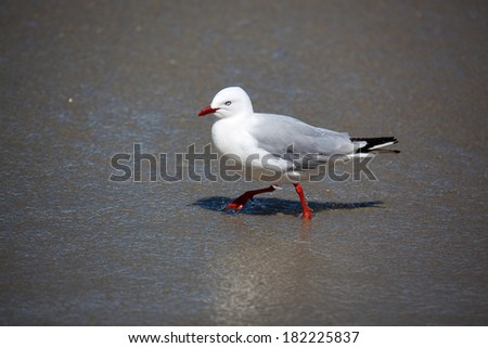 Red-billed Gull (Chroicocephalus scopulinus) - stock photo
