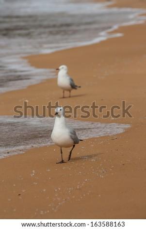red-billed gulls on beach - stock photo