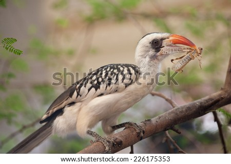 Red-billed Hornbill with prey - stock photo