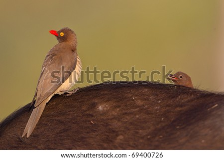 Red-billed Oxpecker - stock photo
