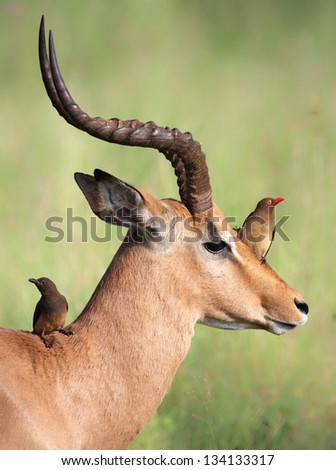 Red-billed Oxpeckers (Buphagus erythrorhynchus) sitting on Impala (Aepyceros melampus) - stock photo