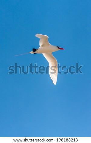 Red-billed tropicbird, seabird of tropical oceans - stock photo