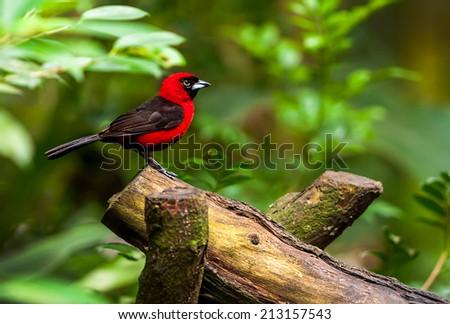 Red  bird sitting on a branch, wildlife - stock photo