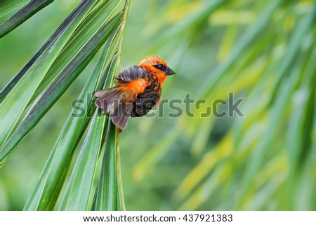 red  bird species Foudia madagascariensis on a palm tree  - stock photo
