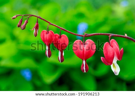 Bleeding Heart Stock Photos, Images, & Pictures | Shutterstock