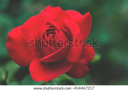 Red blooming rose close up, dark green background, matte faded vintage edit - stock photo