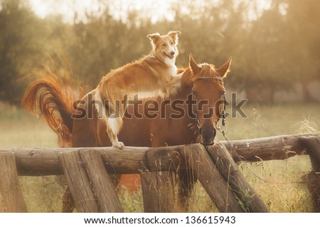 Red border collie dog and horse are friends at sunset in summer - stock photo