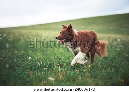 Red border collie dog running in a meadow, summer  - stock photo