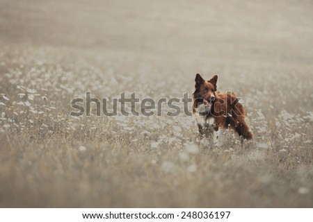 Red border collie dog walking in a meadow  - stock photo