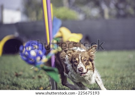 Red border collie doing slalom in agility dog - stock photo