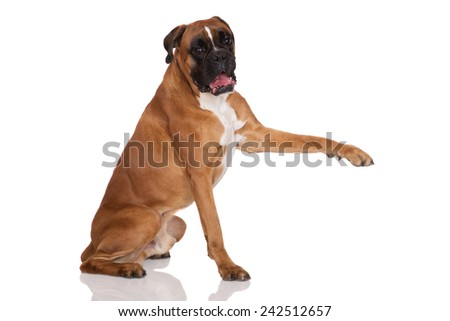 red boxer dog pointing with his paw - stock photo