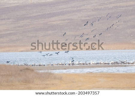 Red Breasted Geese Flock in Danube Delta - stock photo