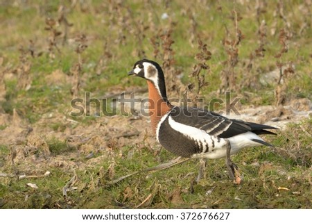 Red Breasted Goose - stock photo