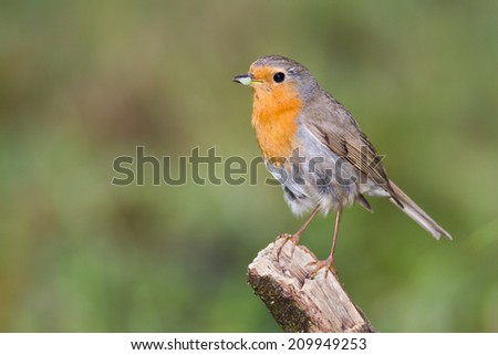red-breasted robin perching on a twig - stock photo