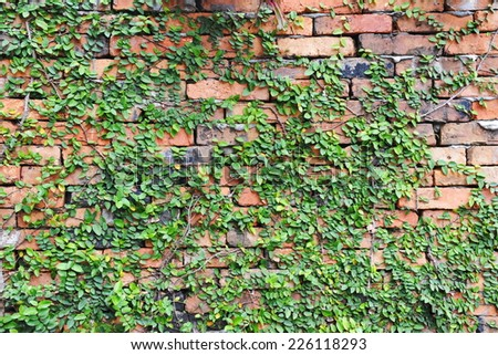 Red Brick Wall Covered by a Green Leafy Plant  - stock photo