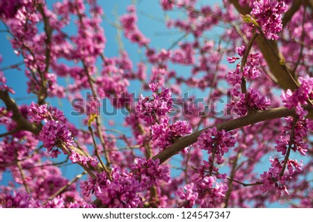 Red Bud Blooms - stock photo