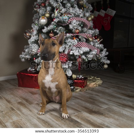 Red Bull Terrier sitting in front of the Christmas tree - stock photo