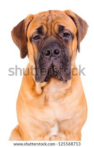 red bullmastiff puppy face close up. dog isolated on white background - stock photo