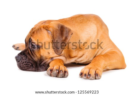 red bullmastiff puppy lying on a white background. dog portrait isolated. age 6 months - stock photo