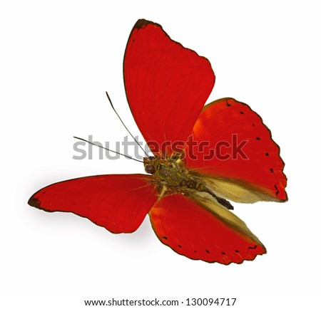 red butterfly in flight (Cymothoe sangaris) - stock photo