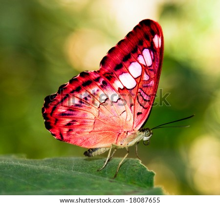 red butterfly on a green leaf - stock photo