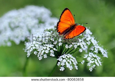 red butterfly Scarce Copper , Lycaena virgaureae  - horizontal photo - stock photo