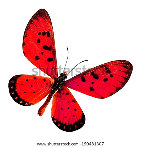 Red Butterfly, Tawny coster (Acraea violae) upper wings profile in red color isolated on white background - stock photo