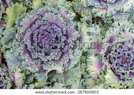 Red cabbages in the agriculture fields. Close up red cabbage. Red cabbage texture, Fresh red cabbage, organic vegetables. - stock photo