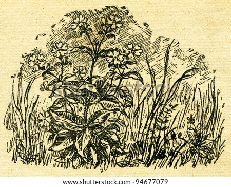 """Red campion - Silene dioica - an illustration from the book """"In the wake of Robinson Crusoe"""", Moscow, USSR, 1946. Artist Petr Pastukhov - stock photo"""