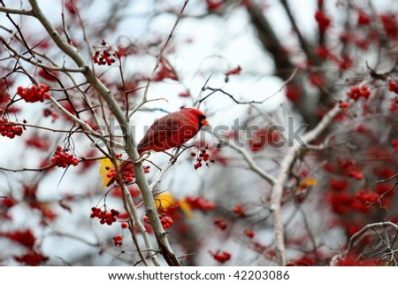 Red Cardinal and Red Berries in a Tree in Winter - stock photo