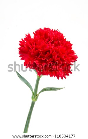 Red carnation flower - stock photo