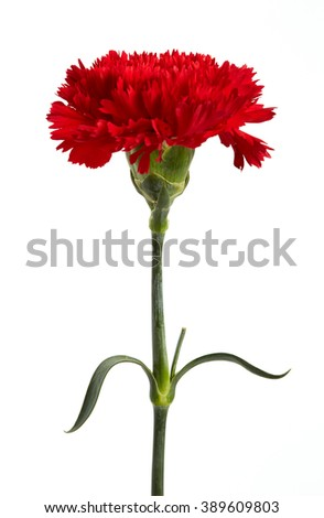 Red carnations flower isolated on white background. - stock photo