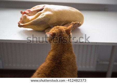 red Cat and meat - stock photo