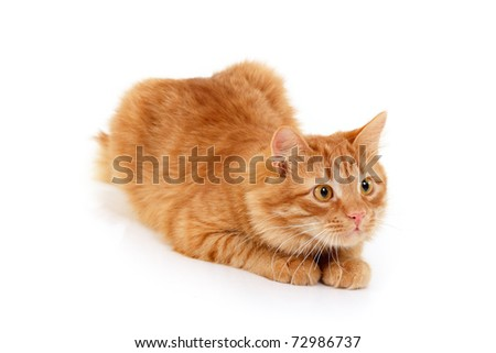 red cat attention lying down isolated on white background - stock photo