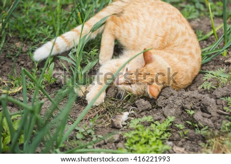 red cat caught the mouse, cat playing with the mouse, Village countryside nature - stock photo