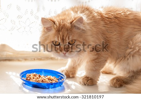 red cat eats food from blue bowls - stock photo