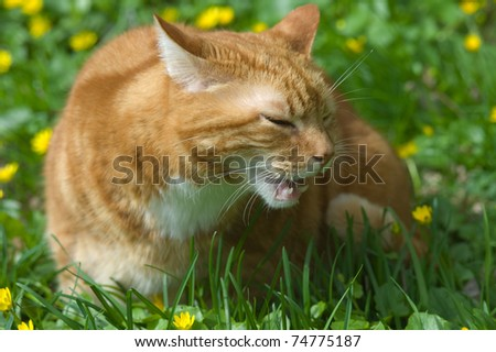 Red cat eats grass in garden - stock photo