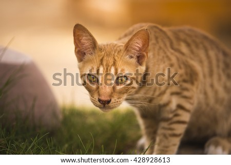red cat hunting. Red Cat hunting hiding - stock photo
