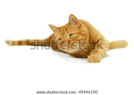 Red cat is resting on a white background looking at something - stock photo
