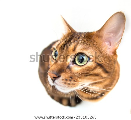 red cat, isolated in white - stock photo