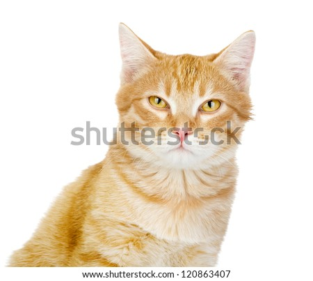 red cat looking at camera. isolated on white background - stock photo